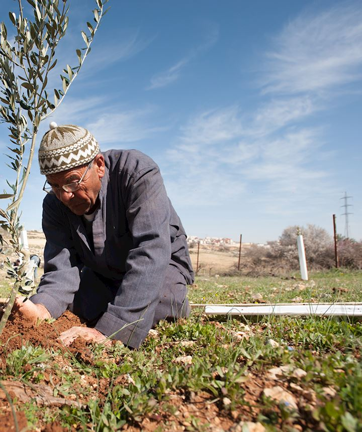 Man Planting a Olive Tree in Palestine