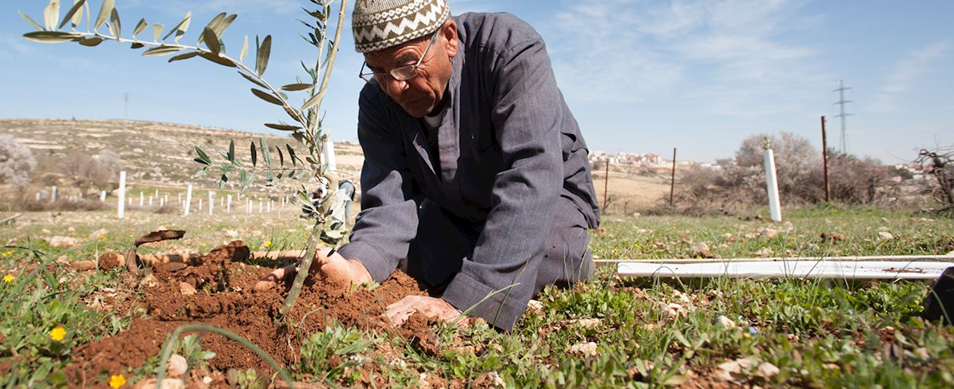 Planting an olive tree in Palestine background