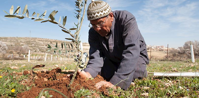 man planting an olive tree
